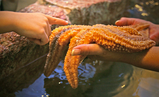 brockville-aquatarium-touch-tank-starfish