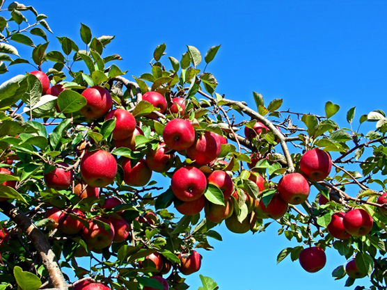 Waddell Apples – Orchard & Bakery Featured Image